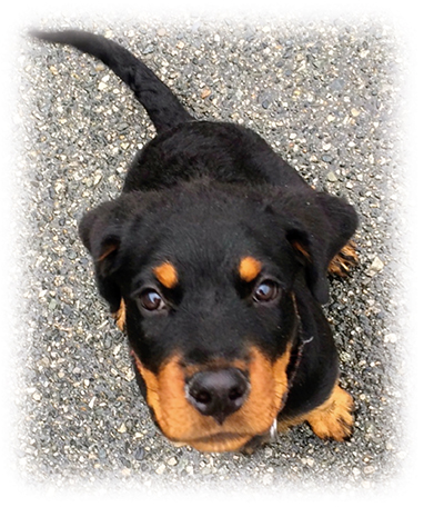 Microsoft Word - pup rottie soft[1].docx